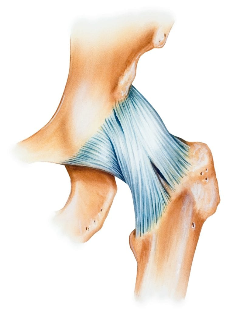 ligaments on hip joint